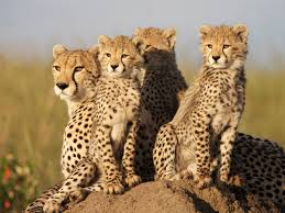 african cats2